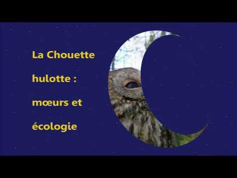 Nuit   Un rapace nocturne : la hulotte parisienne