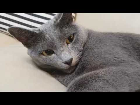 "Russian blue cat ""Lara""♡"