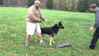 Personal Protection Trained German Shepherd Chaos Affordable Protection Home Guardian