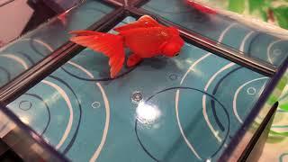 まるで本物みたいに優雅な動き。ソーラーパワーで泳ぐ「ひかりとみずのカラクリ金魚」がめちゃキレイ!
