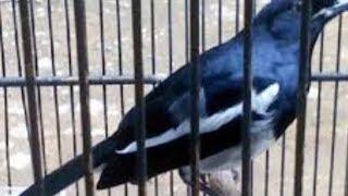 Ciri Ciri Burung Kacer Kalimantan Dan Harga Burung Kacer