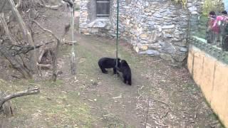 В зоопарке Вены - малайский медведи кушают