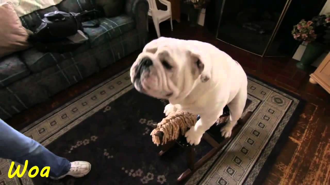 amazing bulldog like riding rocking horse - youtube