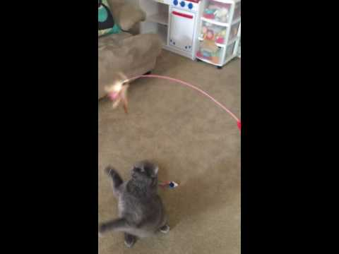 Meowo 8 pack Cat Dancer toys Amazon Kristi
