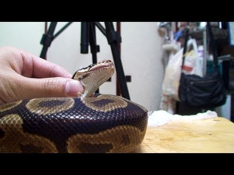 可愛すぎる飼い蛇の脱皮お手伝い | The snake is helped to slough off old skin.