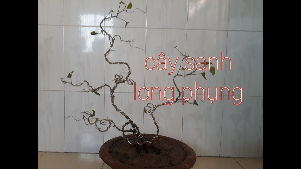 Thay chất trồng cây sanh bonsai thế long đàn phượng vũ