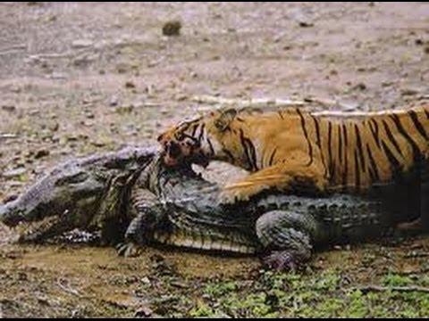 tiger attacking crocod...
