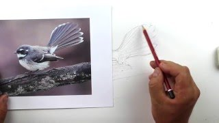 How to draw a realistic fantail. Part 4 - Sketching the bird