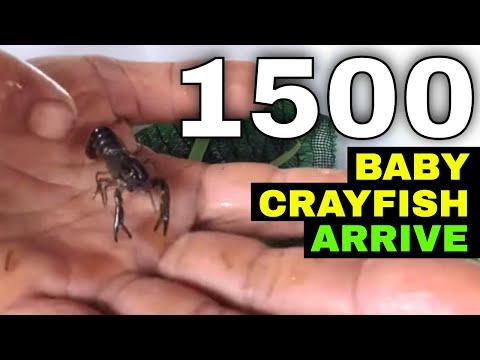 Introducing Baby Crayfish (Yabbies) To Our Tank | Grow Crayfish For Food #7
