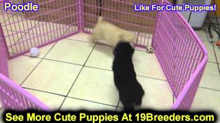 Standard Poodle, Puppies, For, Sale, In, Salt Lake City, Utah, Ut, Tooele, Kearns, Cottonwood Height