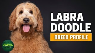 Labradoodle Dogs 101 | An Excellent Pet for FirstTime Dog Owners