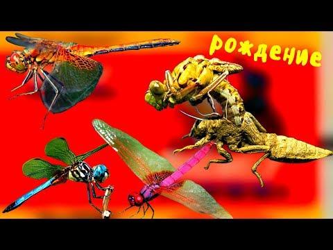 Факты про СТРЕКОЗУ, которые вас удивят. Как стрекоза ест мух и шершней