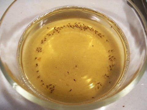How To Get Rid Of Fruit Flies | How To Get Rid Of Fruit Flies Fast In The  House