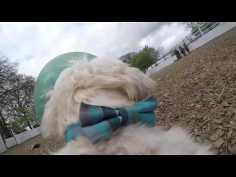 GoPro Stumpy Buckley Dandie Dinmont Terrier Playing With Horse Ball at Royal County Equine
