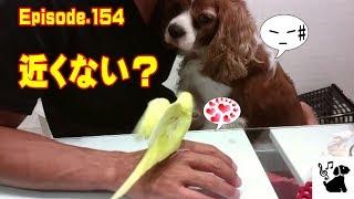 おもしろ可愛い犬(キャバリア/ルビー・ブラタン・ブレンハイム)とおし...
