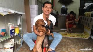 Chó lạp xưởng ( chó xúc xích ) tên tiếng aฑh là dachshund