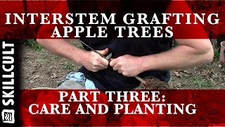 grafting dwarf interstem apple trees 3 3 care and planting