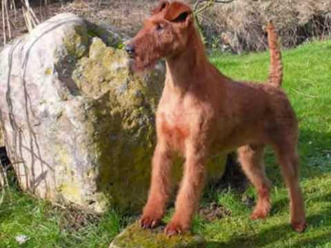 Native Dogs of Ireland