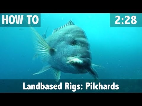 Landbased Bait Rigs, Pilchards For Snapper