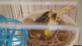 Kuşçu Mesut abi | Kanaryanın ilk yumurtası |  Canary's first egg