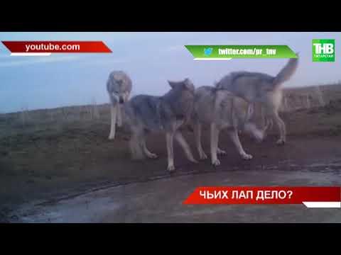 За ночь задушили полстада овец в селе Бизяки Менделеевского района | ТНВ