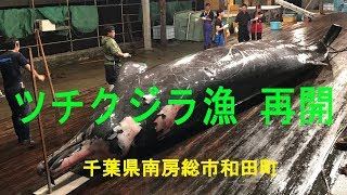 和田浦のツチクジラ漁 再開