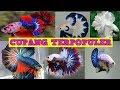 Jenis Ikan Cupang Terpopuler Pecinta Ikan Hias Wajib Tau  Mp3 - Mp4 Download