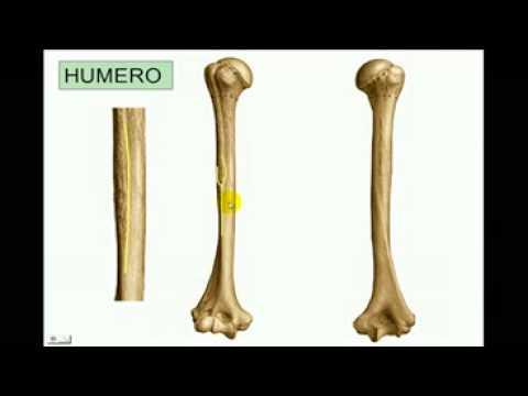 OSTEOLOGIA Miembro superior 3 Diagnostico X - YouTube