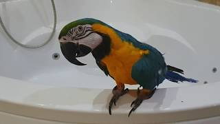 Попугай Ара купается в джакузи Говорящий попугай ара улетает из джакузи