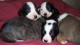 Border Collie/staffordshire Bull Terrier Puppies