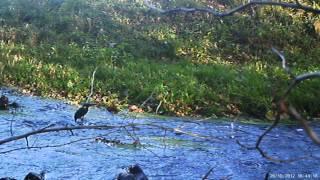 ijsvogel vangt 3 vissen in 60 sec