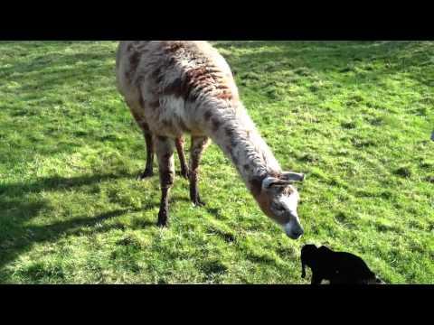 Guard llama meets baby lamb and goat kid