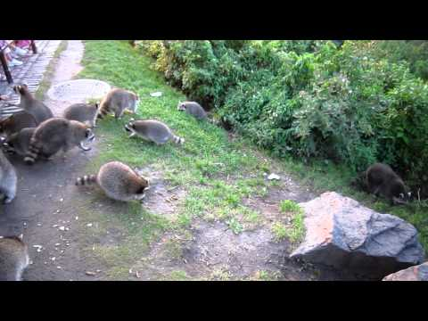Racoons on Mont Royal, Montreal