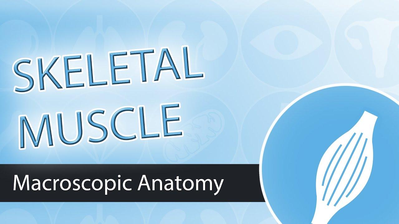 Muscle Anatomy- Skeletal Muscle - YouTube