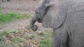 Cute baby elephant's first steps -and steps on his trunk! Adorable! At the Whipsnade Zoo, UK