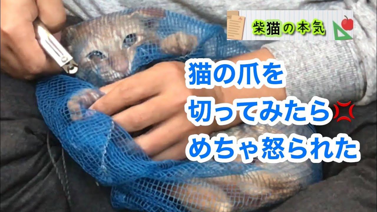【柴犬】猫の爪を切るために最終兵器を用意したのに、メチャ怒られた柴猫の本気【柴猫】