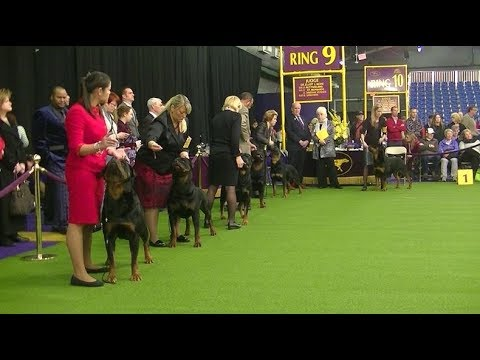 Rottweiler Westminster dog show on 13th February 2018 c