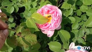 Жара на даче. Собачка ест ягоды. Роза без названия.09.06