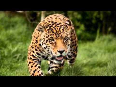 Jaguar in the rainforest - YouTube