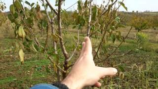 Rezidba voća - vaza i piramida Video