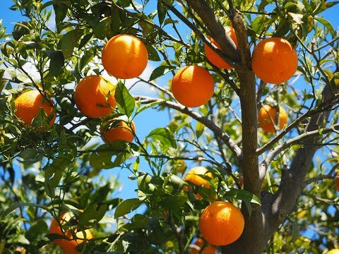 How to grow an orange tree in container