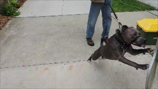 Killer Pit Bull? - Ep 22 Dog Intervention - Dog Whisperer Big Chuck Mcbride