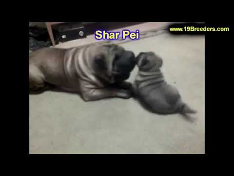 Shar Pei, Puppies, Dogs, For Sale, In Huntington, County, West Virginia, WV, 19Breeders, Morgantown