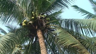 Baixar Niezwykly Swiat - Tajlandia - Palma Kokosowa
