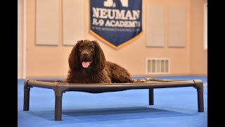 Maji (American Water Spaniel) Boot Camp Dog Training Video Demonstration