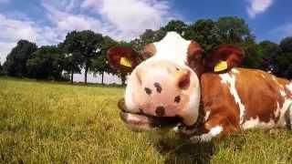 GoPro: Cow