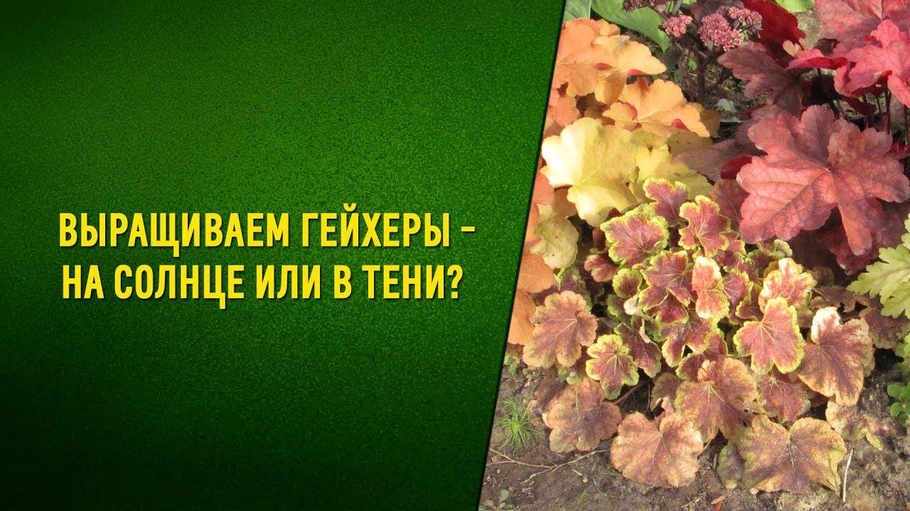 Выращиваем гейхеры в открытом грунте. Посадка и уход