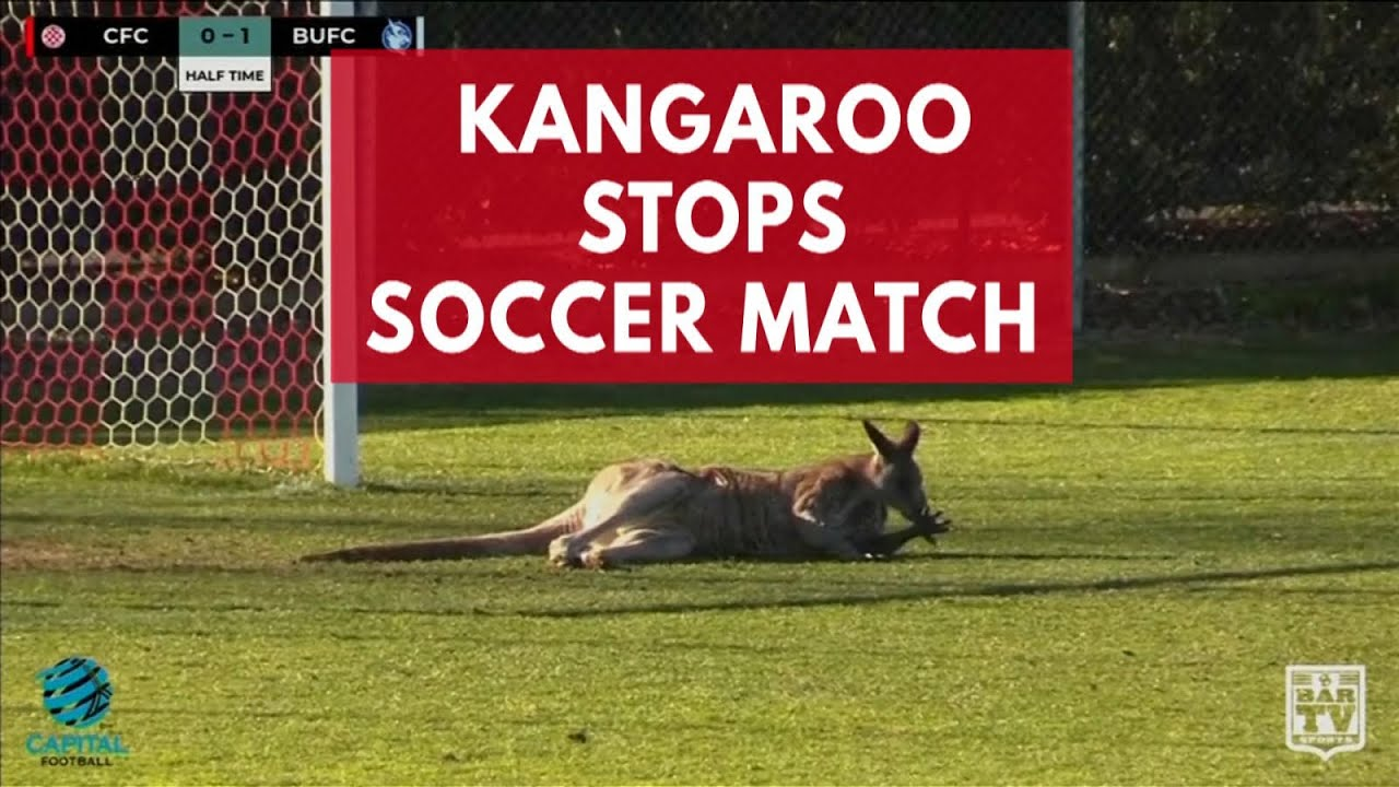 Pitch Invading Kangaroo Interrupts Soccer Match