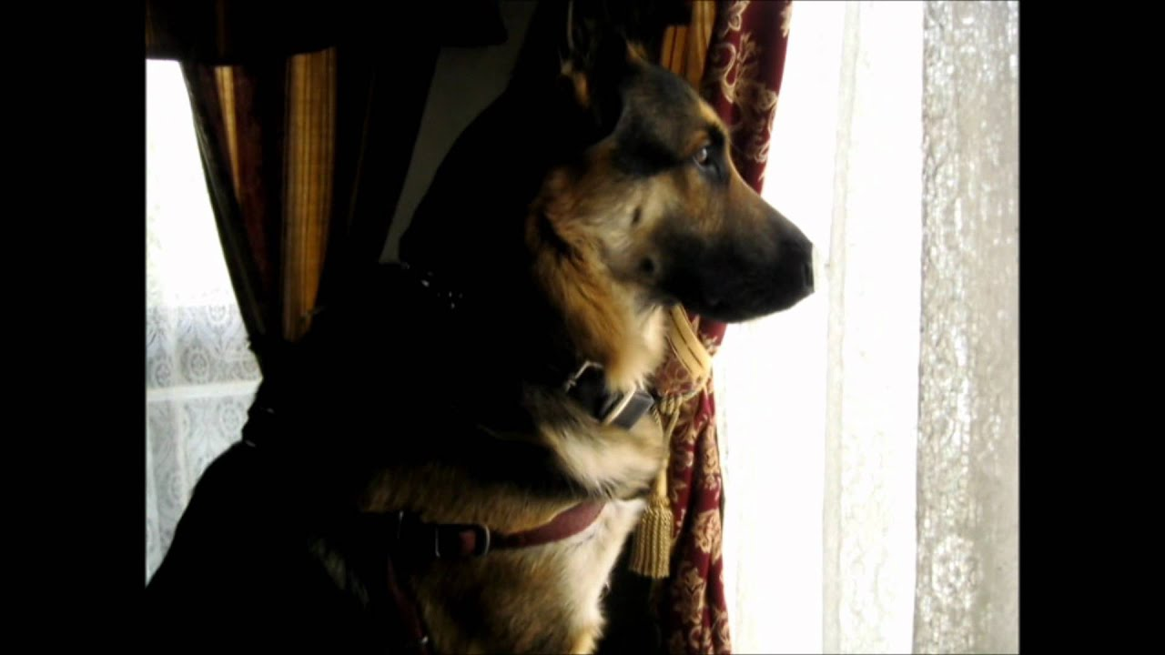 german shepherd growling - photo #16
