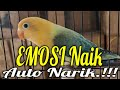 Masteran Burung Love Bird Ngekek Pajang  Mp3 - Mp4 Download